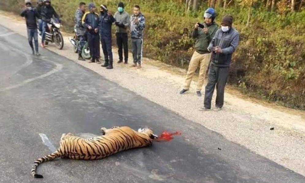 बारामा कारको ठक्करबाट बाघको मृत्युु