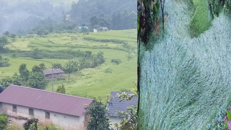 वर्षाले खेतमा पाक्नै लागेको धान बालीमा क्षति