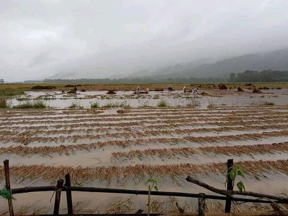 लुम्बिनी प्रदेशमा साढे चार अर्बको धानबालीमा क्षति